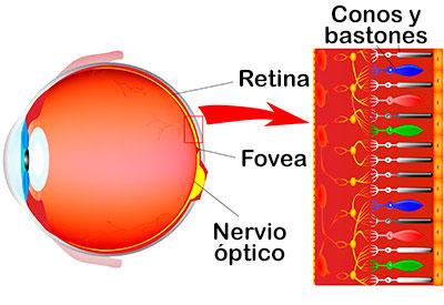 Conos y bastones en la retina.